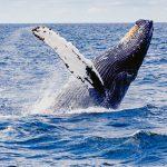 Humpback whale near San Juan Island
