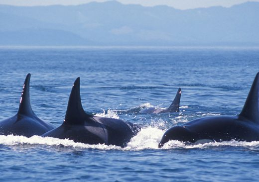 Orca whales swimming