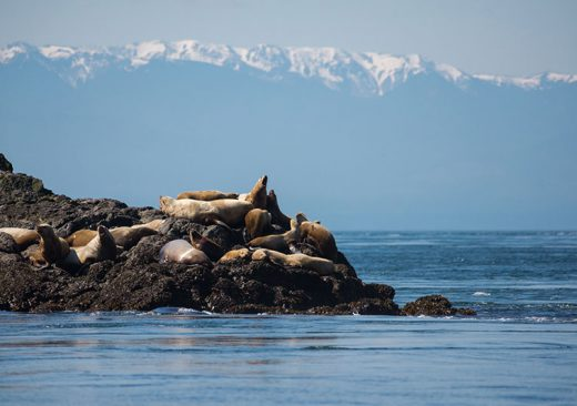 Seals in Haro Strait