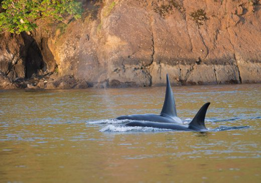 Orcas swimming near San Juan Island