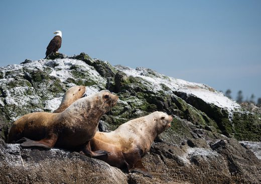 Seals with bald eagle in the San Juan Islands