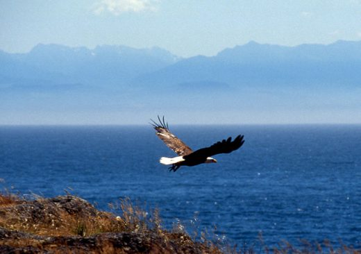 Bald eagle flying in the San Juan Islands