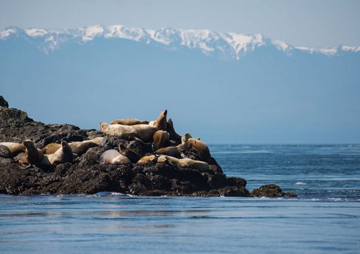 Seals and Olympic Mts.